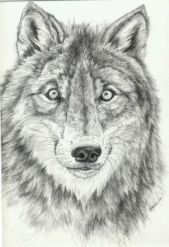 p & i wolf
